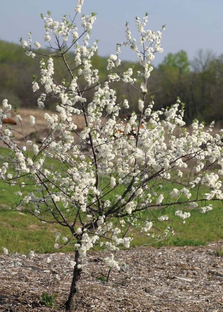 American Wild Plum – T&T Seeds