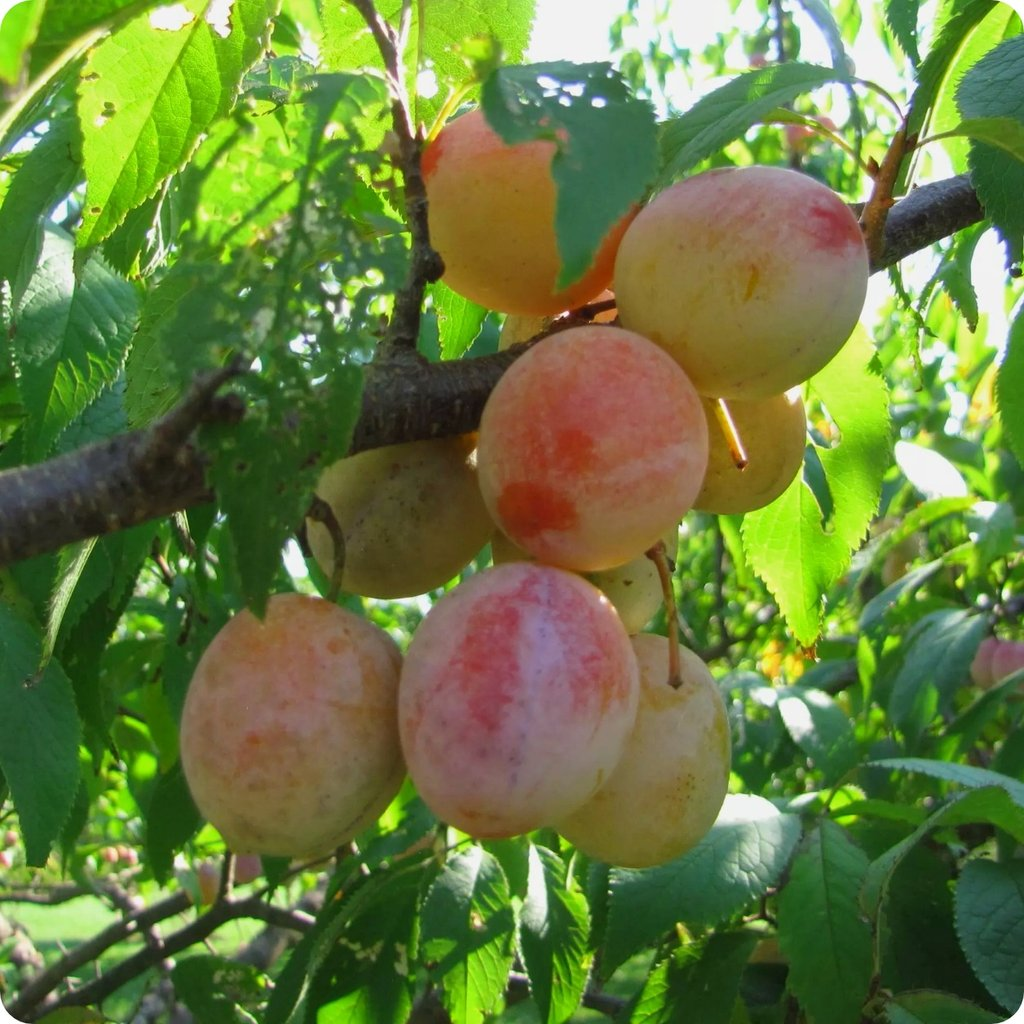 Plum Seeds, American Plum - Heirloom Untreated NON-GMO From Canada