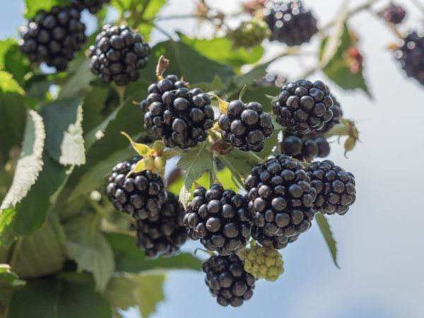 Inconsistent volumes in current Mexican blackberry season