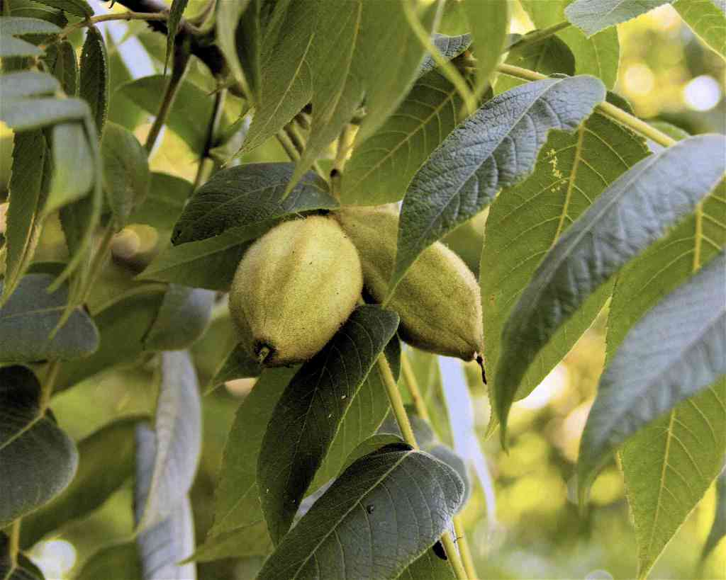 11 Species of Walnut Trees for North American Landscapes