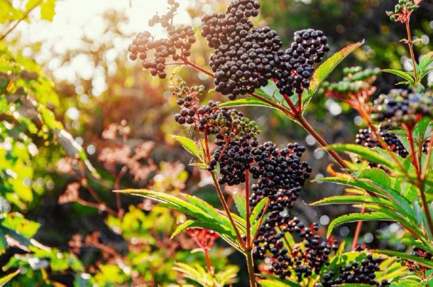 This image has an empty alt attribute; its file name is elderberry.jpg