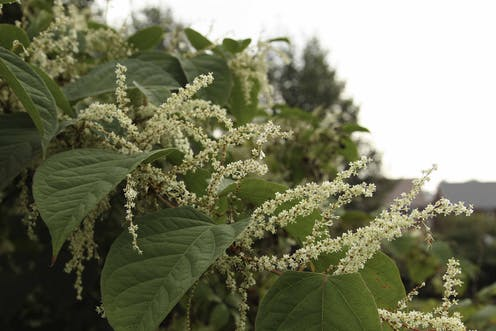 Image result for japanese knotweed