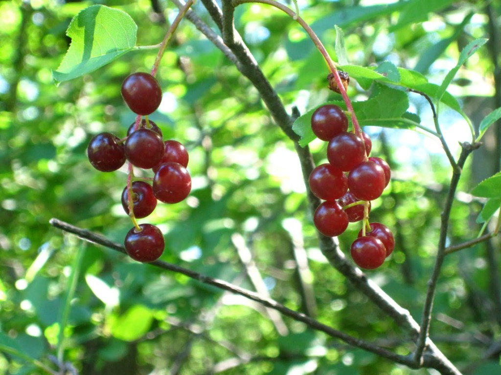 Down & Dirty: wild, wild cherry