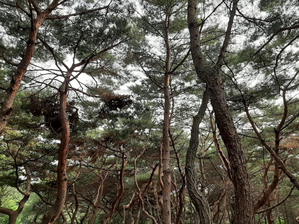 File:Korean Pine Trees in Seoul.jpg - Wikimedia Commons