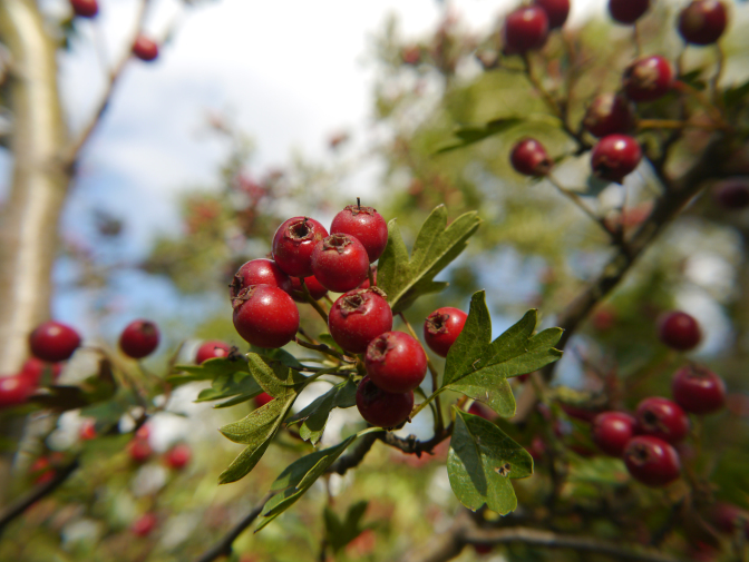 Hawthorn and Apple Ketchup – The Eldrum Tree