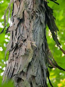 Shagbark Hickory Bark 1 lb. Making Syrup and Smoking meat | eBay