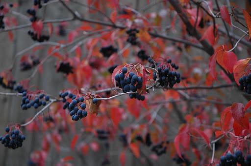 Nannyberry (Viburnum lentago) in Edmonton St Albert Sherwood Park ...
