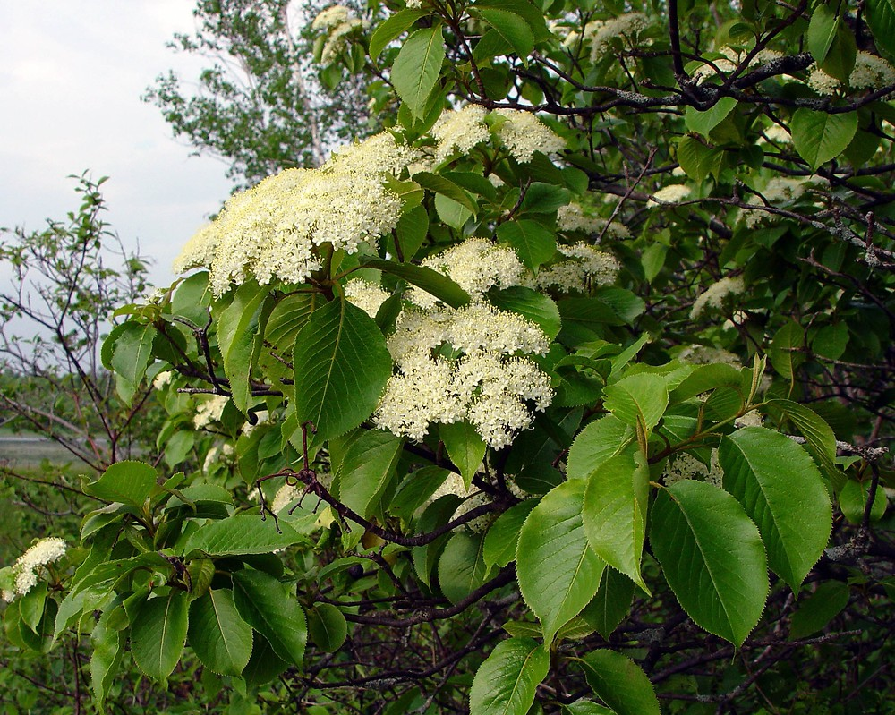 Viburnum lentago (nannyberry): Go Botany